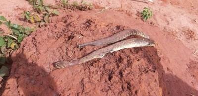 Mulher de 30 anos é picada por cobra cascavel na aldeia indígena em Caarapó