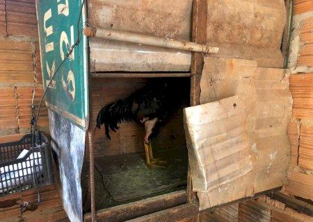 Local de rinha de galos é fechado e proprietário autuado em R$ 7 mil em MS