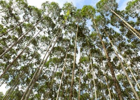 Eucalipto corresponde a 30% das exportações do agro de MS