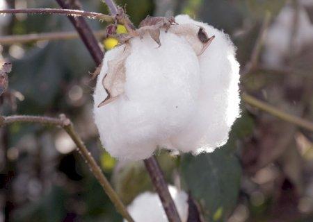 MS aumentou produção de algodão, feijão e aveia em 2019