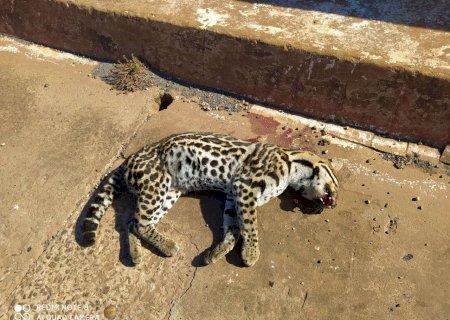 Jaguatirica é encontrada morta atropelada em rodovia