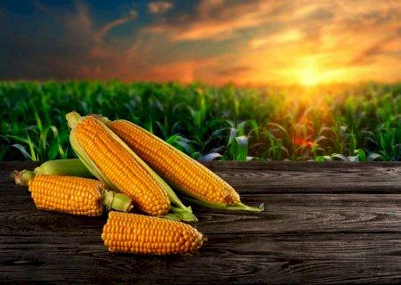Preço do milho cai na maior parte das regiões, aponta Cepea