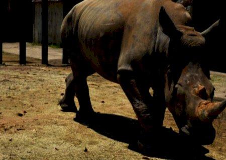 Fêmea de rinoceronte-branco-do-sul viaja ao Japão para encontrar o amor.
