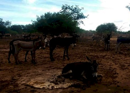 Jumentos estão ameaçados com abate de 92 mil animais