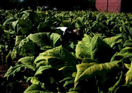 Tabaco brasileiro será barrado na Rússia por conta de praga