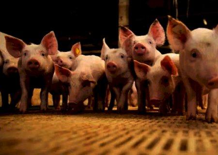 Queda no preço do suíno reduz poder de compra do produtor