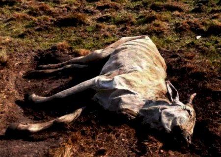 Bois morrem de fome e pecuarista é multado em R$ 12 mil