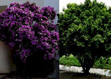 Prefeitura doará 400 mudas de árvores; Manacás-da-serra, Murtas-de-cheiro e Resedás